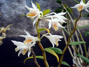 Chiêm ngưỡng hoa phong lan rừng sa pa