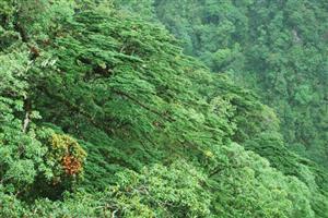 Quần thể cây Vân Sam được công nhận là quần thể Cây di sản Việt Nam