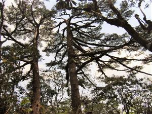 Hội bảo vệ Thiên nhiên Việt Nam công nhận 2 quần thể cây di sản Việt Nam cho VQG Hoàng Liên
